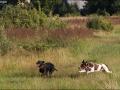 Hundetræning 21-07-2016